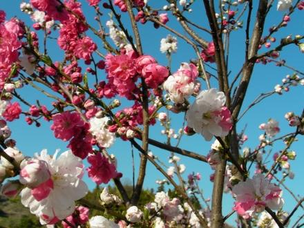 Sakura09